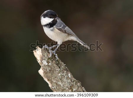Coal tit, (Parus ater) - stock photo