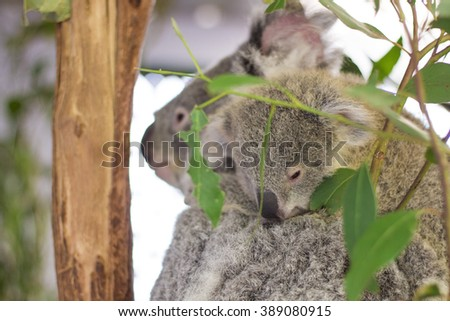 coala bear with cub eating eucaliptus - stock photo