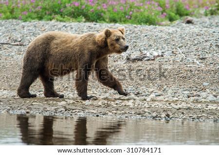 coastal alaskan grizzly bear fishing for salmon in katmai national park - stock photo