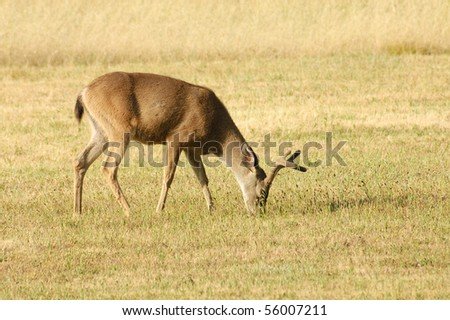 Coastal Black-tailed deer (Odocoilus hemionus) in northern California.