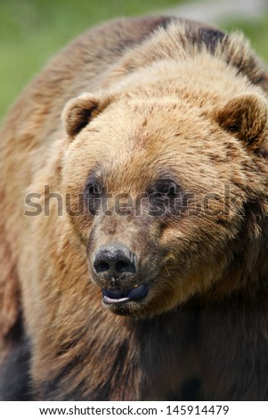 Coastal Brown Bear - close up - stock photo