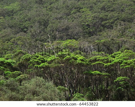 Coastal eucalyptus forest with bright green trees in front of dark green trees australia - stock photo