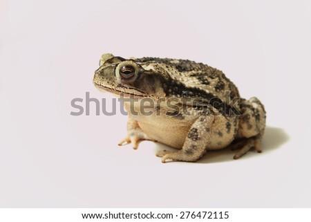 Coastal Plain toad  - stock photo