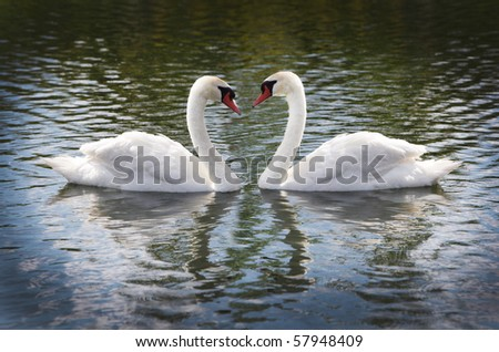 Cob and Pen swans in the lake - stock photo