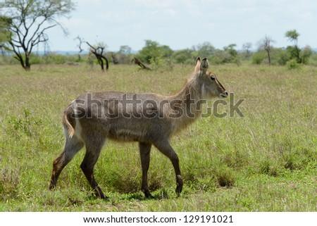 Cobe defassa, Parc National Kruger, Afrique du Sud. - stock photo