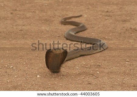 Cobra crossing the road - stock photo