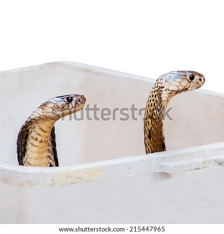 Cobra in box isolate on white background - stock photo