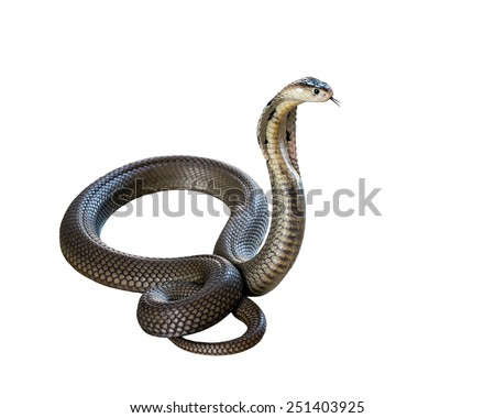 Cobra isolate on white background