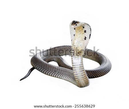 Cobra isolate on white background. - stock photo
