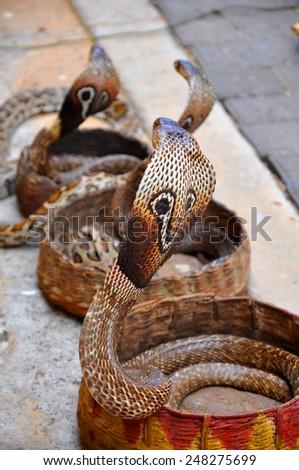 Cobra snake - stock photo