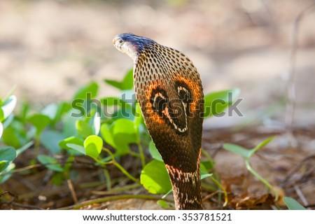 Cobra snake close-up in natural habitats - Sri Lanka wildlife - stock photo