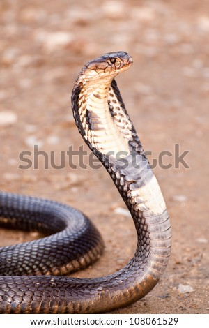 Cobra with hood up in defensive posture, South East Asia - stock photo