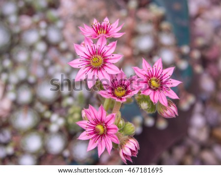 Cobweb house-leek (Sempervivum arachnoideum) is a species of flowering plant in the family Crassulaceae, native to the Alps, Apennines and Carpathians.
