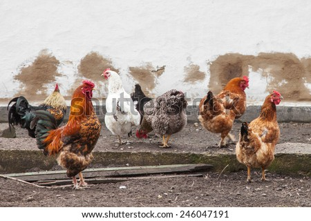 Cock and hens walking on rural yard - stock photo
