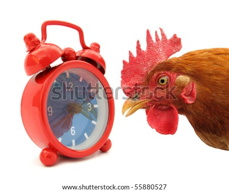 Cock chanticleer rooster and alarm clock - stock photo
