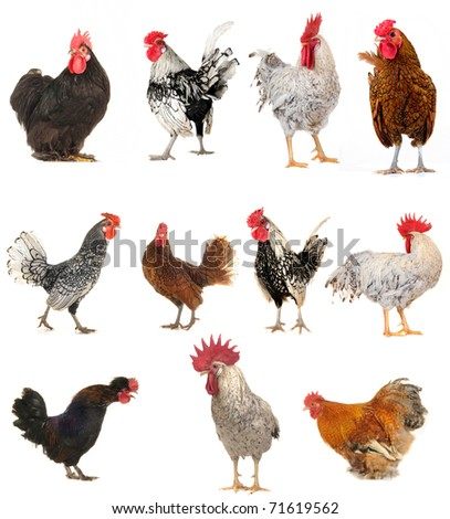 cock on a white background - stock photo