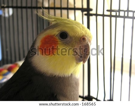 Cockatiel in a cage