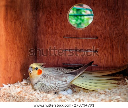 Cockatiel laying eggs in a nest box - stock photo