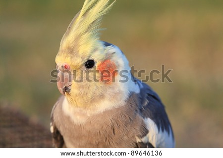Cockatiel. Love bird close up - stock photo