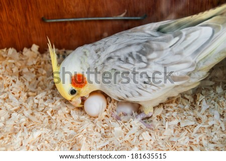Cockatiel (Nymphicus hollandicus) at nest with eggs - stock photo