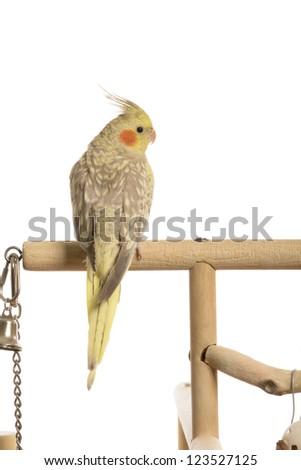 Testing Cockatiel Flight 15