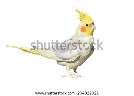 Cockatiel, Nymphicus hollandicus, isolated on white background  - stock photo