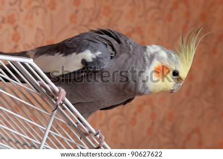 Cockatiel (Nymphicus hollandicus) sitting on roof of cage - stock photo