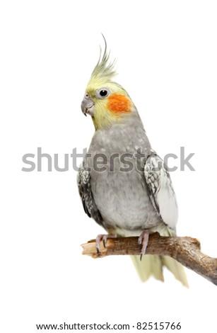 Cockatiel parakeet 4 years old (female) - stock photo