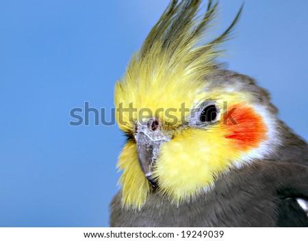 Cockatiel portrait, male - stock photo