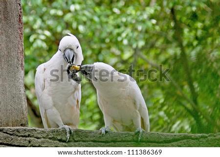 cockatoo birds - stock photo