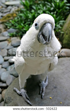 cockatoo close up