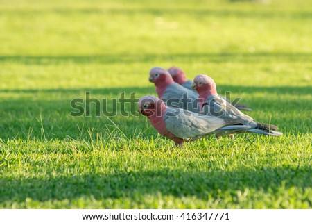 cockatoo in west australia - stock photo