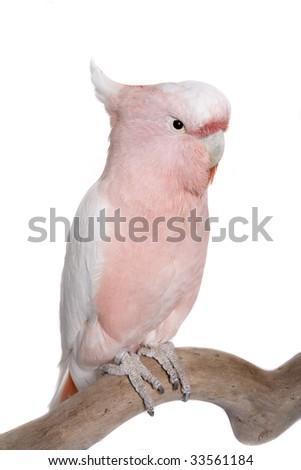 Cockatoo, Major Mitchell, Lophochroa leadbeateri, Australia, isolated on white - stock photo