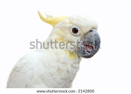 Cockatoo on white - stock photo