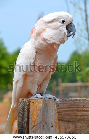 Cockatoo Perched A very photogenic cockatoo with a slightly pink tint or hue to its feathers. This is one of the most beautiful and even slightly majestic birds we have seen in awhile. - stock photo
