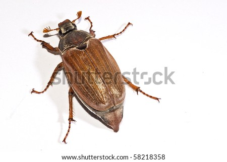 cockchafer, also called may bug, billy witch, or spang beetle belonging to the family of scarabaeidea
