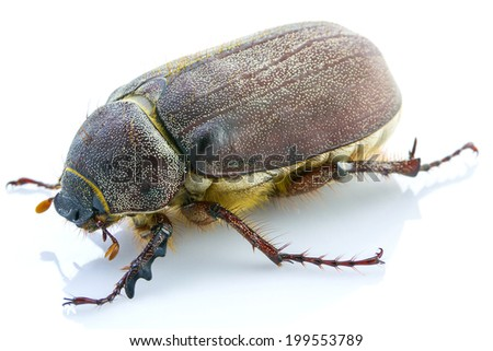 cockchafer, isolated on white background - stock photo