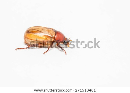 Cockchafer (Melolontha) isolated on white background - stock photo