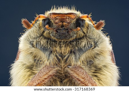 Cockchafer on a dark background close-up - stock photo