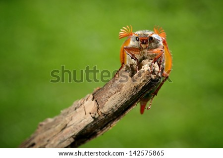 Cockchafer or May bug (Melolontha melolontha) in natural environment - stock photo