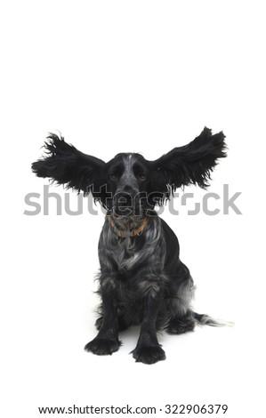 Cocker, Dog - stock photo