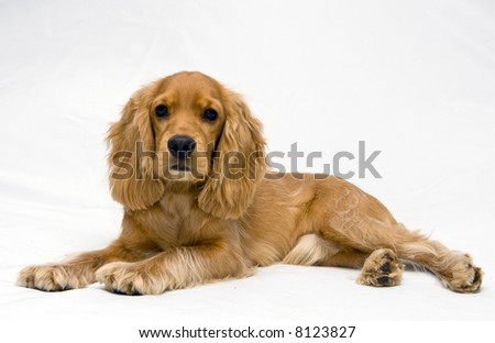 cocker spaniel - stock photo