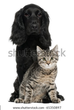 Cocker Spaniel and European Cat, 5 and 4 years old, sitting in front of white background - stock photo