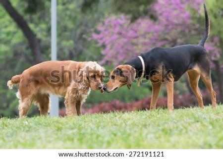 Cocker spaniel and hunt dog meet at the park - stock photo