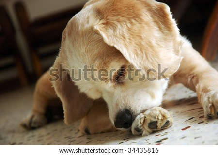 cocker spaniel chewing paw - stock photo