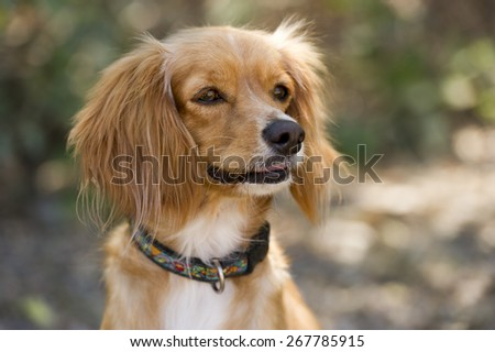 Cocker Spaniel dog is cute and fluffy looking curiously. - stock photo