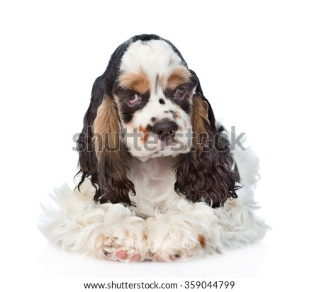 Cocker Spaniel dog lying in front view. isolated on white background - stock photo