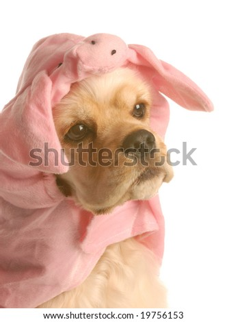 cocker spaniel dressed up as a pig isolated on white background - stock photo