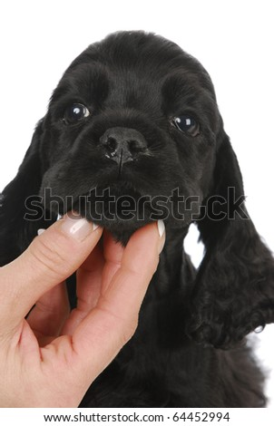 cocker spaniel face being held by woman's hand on white background
