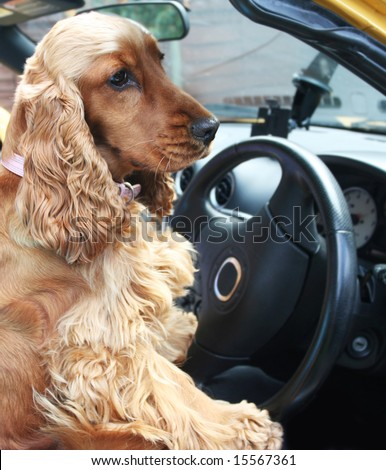 Cocker Spaniel good to go behind the wheel of open topped sports Car - stock photo